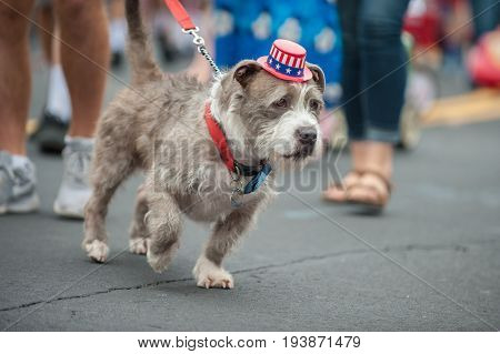 Patriotic mixed breed Terrier dog walking on street parade with stars and stripes hat.