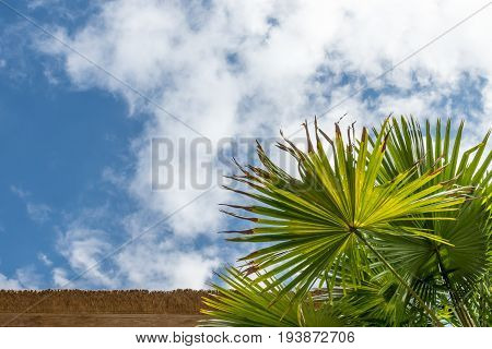 Palm green leaves in tropics, natural texture. Palm and sky background.