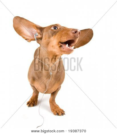 dachshund dog listening to music on an isolated white background
