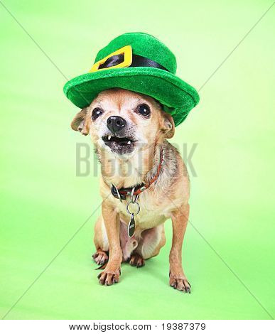 An Irish looking chihuahua