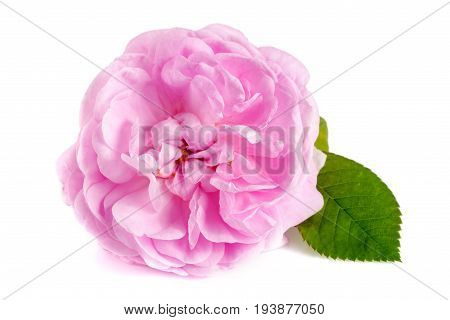 wild rose blooming flower isolated on a white background.