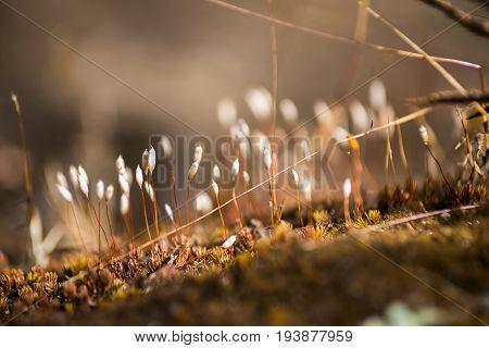 The spore case of bog moss. (Close-up)