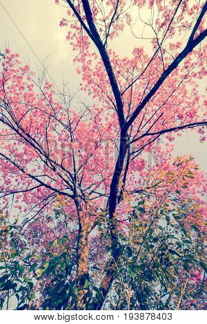 Nature background of beautiful of tree cherry pink flower in spring - vintage pastel color filter