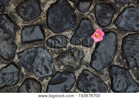 Solitary Japanese camellia blossom has fallen onto a black rock path on a rainy day; the small fragile flower contrasts with the dark hard path, symbolizing hope, isolation.