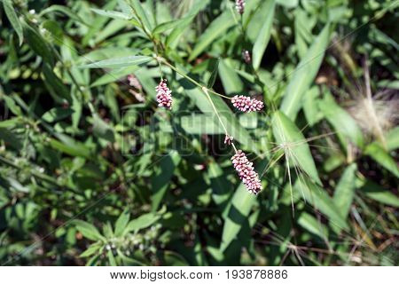 Knotweed (Persicaria sp), also called smartweed, blooms in Joliet, Illinois during July.