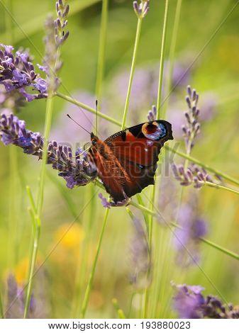 The European peacock (Aglais io) on lavender in a field