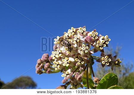 Broad Leaved Wild Cotton Bush flower weed against a blue sky with bee