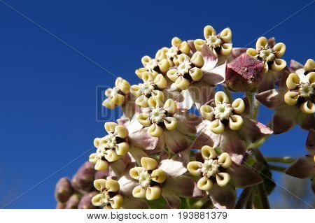 Broad Leaved Wild Cotton Bush flower weed against a blue sky