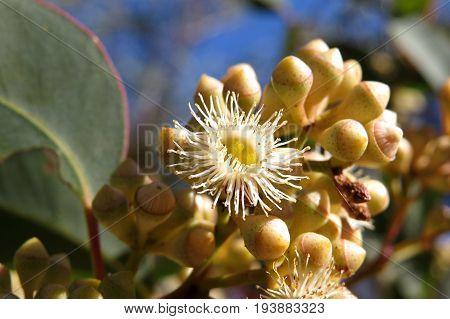 Native Australian yellow Eucalyptus gum blossom flowers