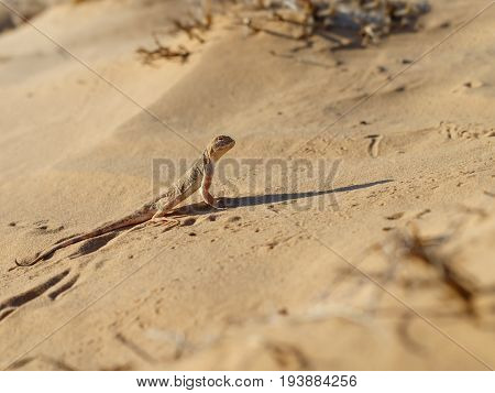 Lizard toadhead agama ( Phrynocephalus guttatus) in the sand dunes and long shadow in the evening. Selective focus.