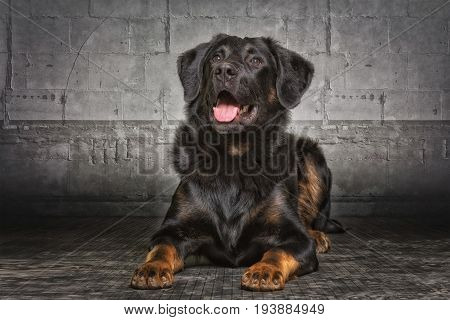 Appenzell sheepdog mixed breed in studio with dark background