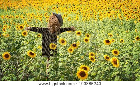 Scarecrow or strawman with hat and t-shirt made from hay to guard the sunflower fields in countryside landscape copy space.