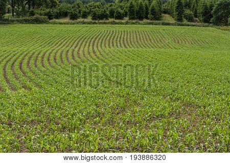 Young corn plants in a field in a row.