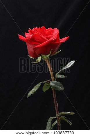 a single red rose flower on black background