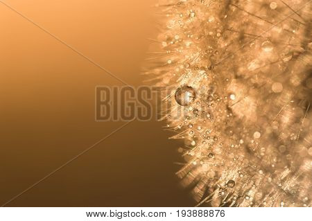 Water droplets on a dandelion with sunlight. Abstract beautiful macro of a dandelion. Dandelion at sunset.Selective focus