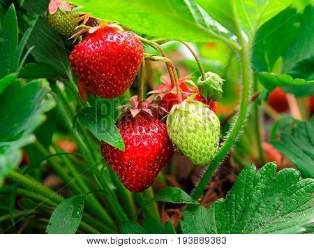 Ripe strawberry grows on a farm in the ground.