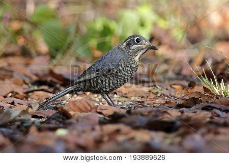 Chestnut-bellied Rock-thrush Monticola Rufiventris Female Birds Of Thailand