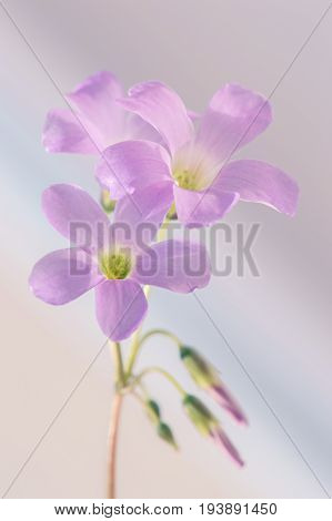 Small pink flowers of Oxalis. Macro pink flowers. Selective soft focus
