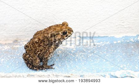 Toad is amphibian his pattern is nice art abstract and clipping paths Background is cement floor blue color has copy space at right.