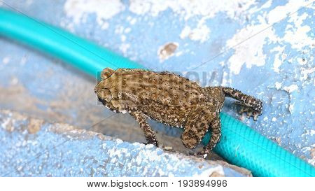Toad is amphibian on the rubber tube turquoise color Photo top view Background is cement floor blue color.
