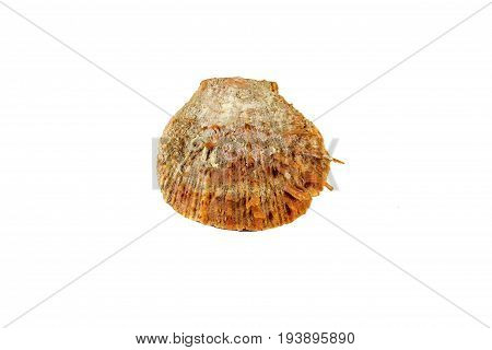 Beautiful Sea Shell,spondylus I Tericus, Isolated On White Background For Posters, Sites, Business C