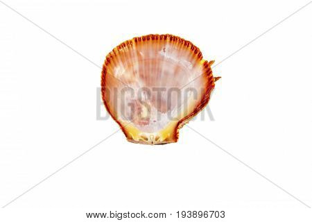 Beautiful sea shell, Spondylus I Tericus, isolated on white background view from the top .For posters, sites, business cards, postcards, interior design, labels and stickers.