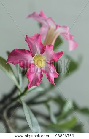 Pink flowering plant adenium obesum also known as desert rose.