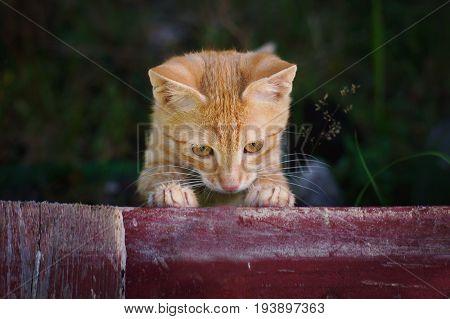 A Little Red Kitten Peeks Through The Garden Fence