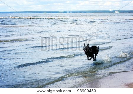 A Black Dog Rushes Through The Shallow Waters Of The Bay