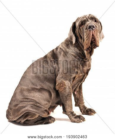 Italian mastiff cane corso on white background