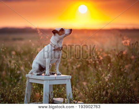 Dog at summer. Pet at sanset