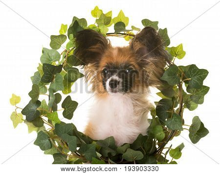 puppy papillon dog in front of white background