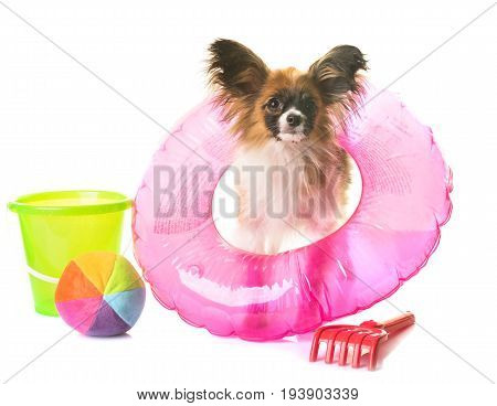 puppy papillon dog in holidays front of white background
