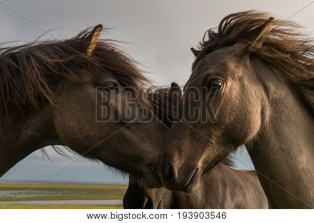 Icelandic horse with dramatic overcast sky and wind