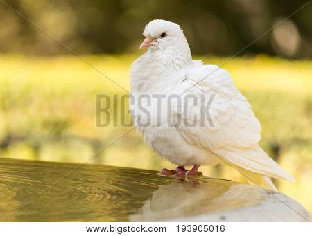 White Dove Bathing At The Alcazar, Seville, Andalucia, Spain