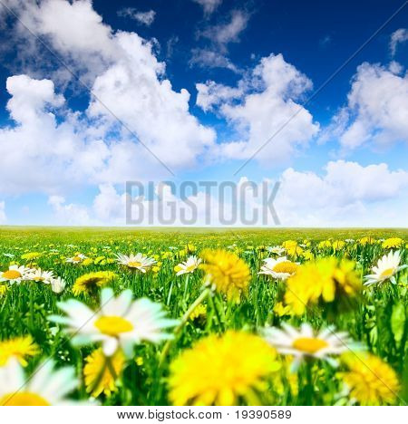 Camomiles and dandelions in the meadow