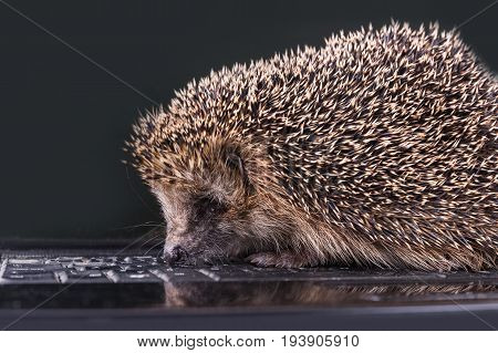 Hedgehog climbs through the laptop cute hedgehog.