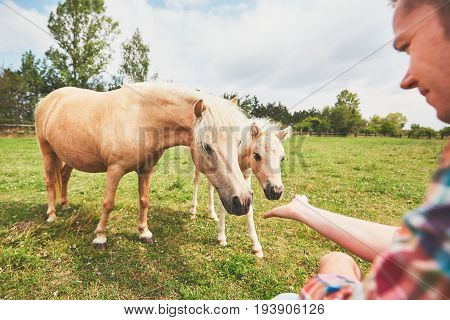 Young farmer caress mare with foal of the miniature horses.