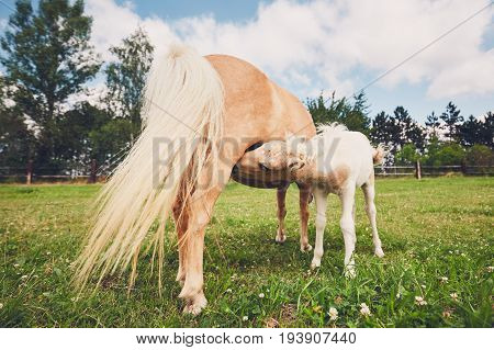 Miniature Horse On The Pasture