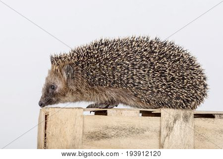 Cute hedgehog on a wooden box.  Small hedgehod.