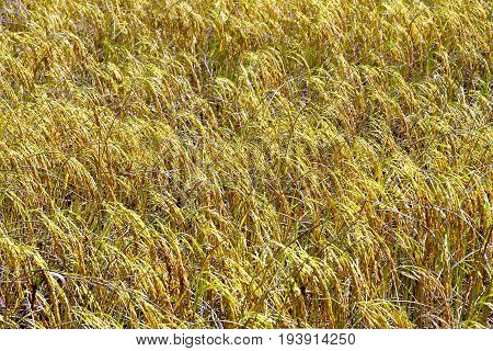 Rice paddy ripe it yellow and golden in rice field at countryside of Thailand.