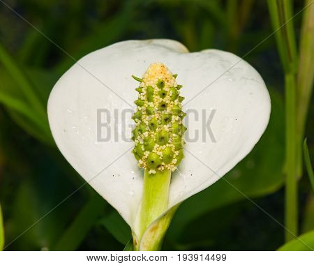 White flower of Bog Arum or Calla palustris close-up selective focus shallow DOF.