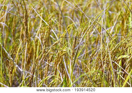Rice paddy with blur background in rice field at countryside of Thailand.