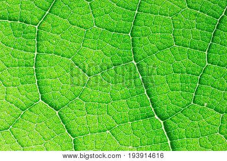 Teak (Tectona grandis) leaf detail, Teak is a tropical hardwood tree native to south and southeast Asia