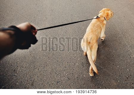 man holding a labrador dog on a leash a golden retriever walking along the street the concept of dog walking the man's best friend.