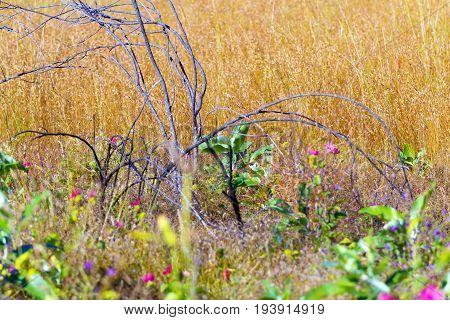 MELASTOMATACEAE; Osbeckia stellata Ham. flower beautiful with forest grass at Mukdahan Nation Park Thailand.