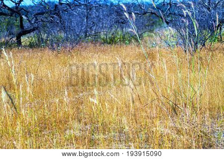 Dry flower grass beautiful with blur forest in the Mukdahan Nation Park Thailand.