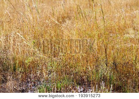 Dry flower grass beautiful with soft background in the Mukdahan Nation Park Thailand.