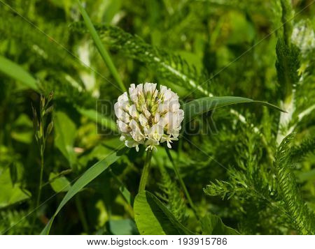 White Clover Trifolium repens flower in field macro with bokeh background selective focus shallow DOF.