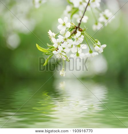 Blossoming of cherry flowers in spring time with green leaves and water reflection
